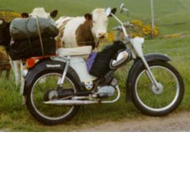 (Moped with cows)